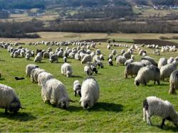 Des moutons dans un champ.