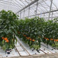 Des poivrons en hiver grâce à une solution d'éclairage intelligent